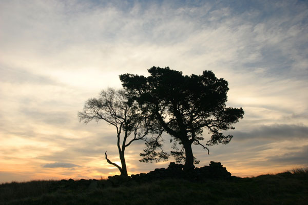 07-0219 Trees with Dawn Sky Loups Hill, Teesdale, County Durham