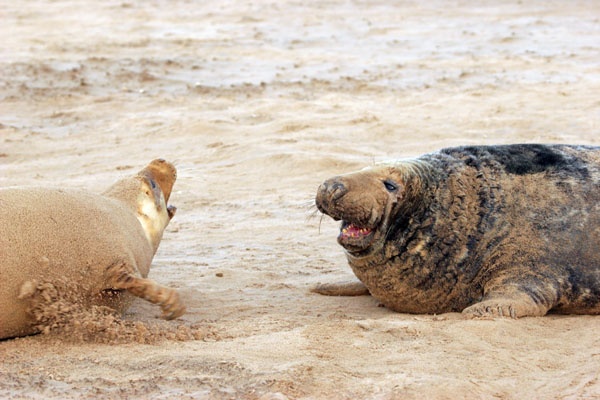 07-0626 Male and Female  Adult Grey Seals (Halichoerus grypus) With Female Showing Aggression UK