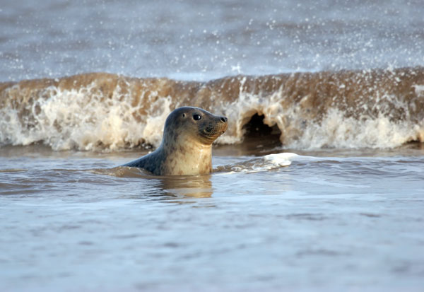 07-0645 Grey Seal with Wave (Halichoerus grypus)