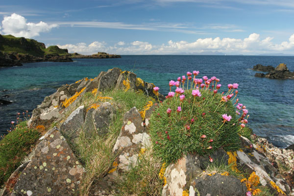07-1609 Thrift (Armeria maritima) growing on the Island of Mull, Scotland