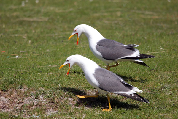 07-1673 Lesser Black Backed Gulls (Larus fuscus) Displaying.