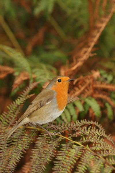 07-3341 Robin Erithacus rubecula Perched on Fern Lake District Cumbria