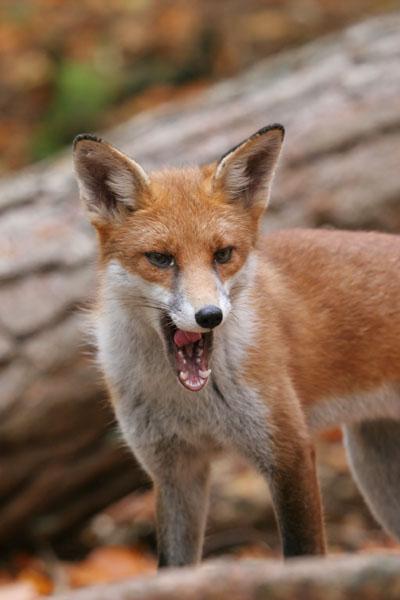07-4032  Red Fox (Vulpes vulpes)