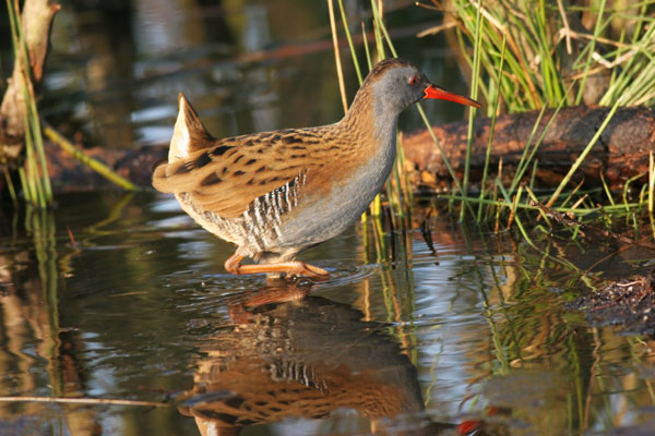 07-6290 Water Rail (Rallus aquaticus) in Afternoon Sunlight