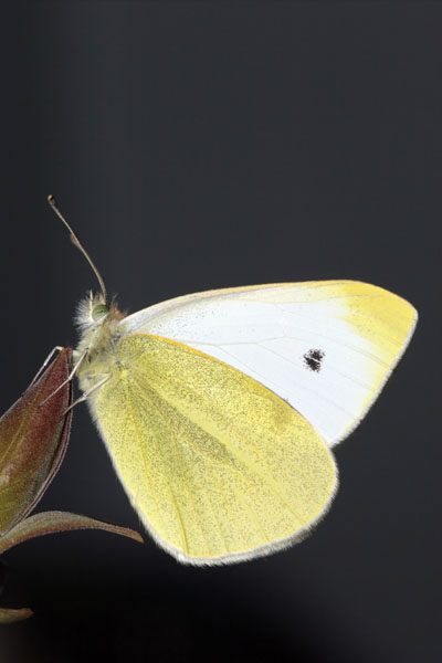07-8139 Small White Butterfly (Artogeia rapae)