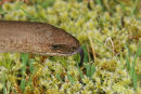 07-9391 Slow Worm Anguis fragilis Sensing With Tongue County Durham
