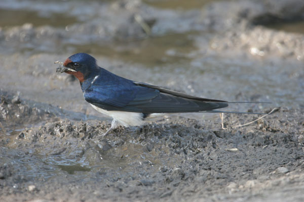 07-9886 Swallow Hirundo rustica Collecting Mud