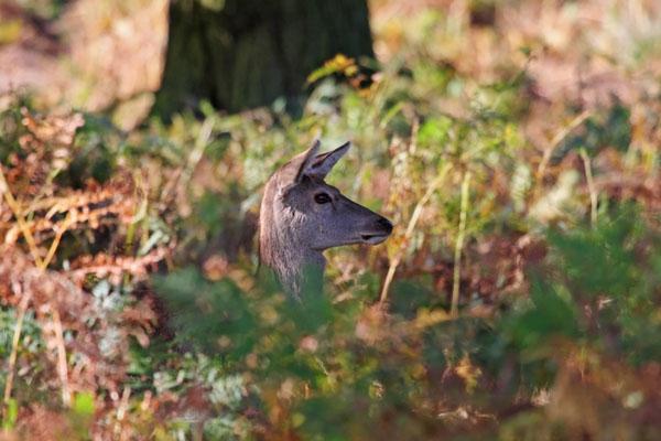 09-6766  Female Red Deer Cervus elaphus in Autumn Woodland