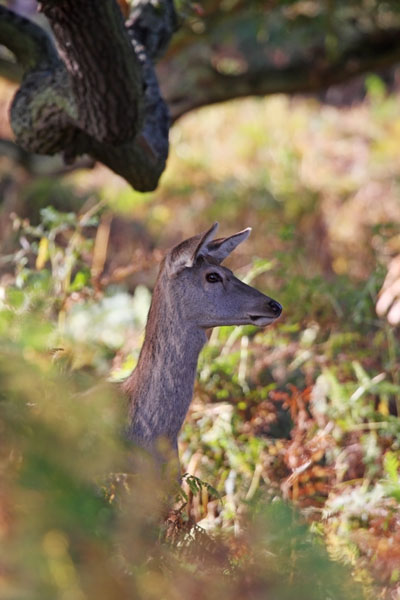 09-6782  Female Red Deer Cervus elaphus in Autumn Woodland
