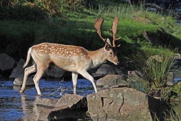 09-6851 Fallow Deer Stag Dama dama Crossing Stream