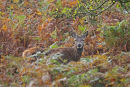 09-7572 Young Male Red Deer Cervus elaphus in Autumnal Setting