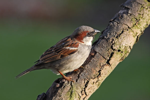 10-9644 House Sparrow Passer Domesticus