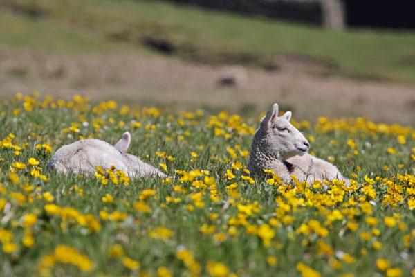10-9739 Lambs Lazing in Flower Meadow Upper Teesdale