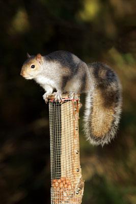 1074  Grey Squirrel (Sciurus carolinensis) on Feeder.