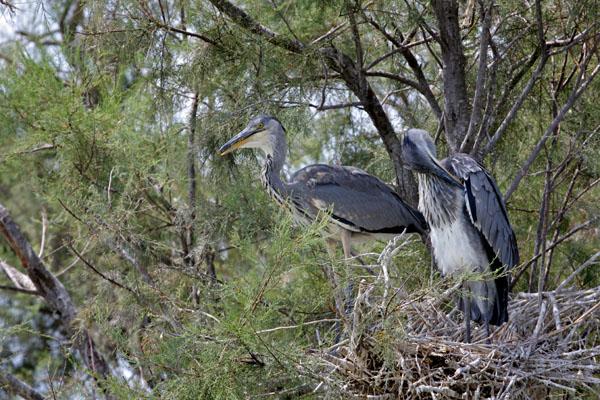 11-3389 Grey Heron Ardea cinerea on Nest