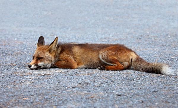11-5715 Sleeping Red Fox Vulpes Vulpes Resting on Road.