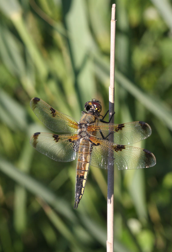 11-9969 Four-Spotted Chaser Libellula quadrimaculata