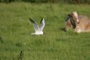 7709 Black Headed Gull (larus ridbundus) Hunting on Meadow Land