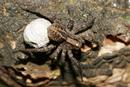 Female Wolf Spider Spp with Eggs Wrapped in Silk