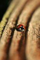 9840 7 Spot Ladybird (Coccinella 7-punctata) On Tree Growth Rings