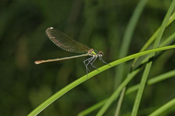 D54-8390 Female Banded Demoiselle Calopteryx splendens.