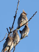 Waxwings at Chepstow