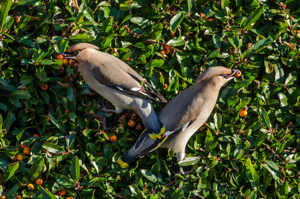 Pair of waxwing on Cotaneaster.