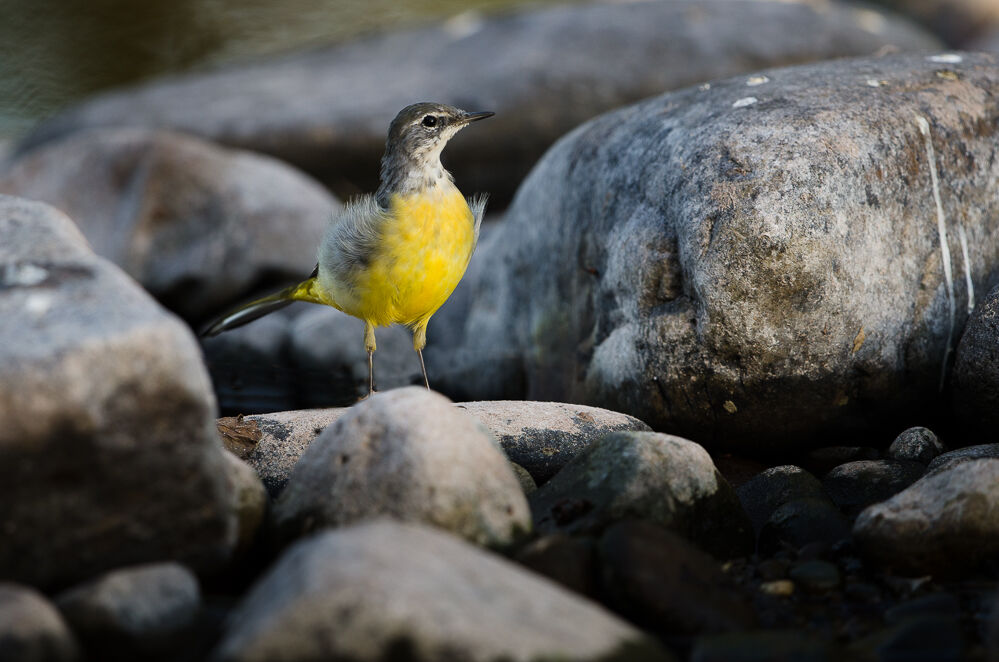 Grey Wagtail in the Rocks.