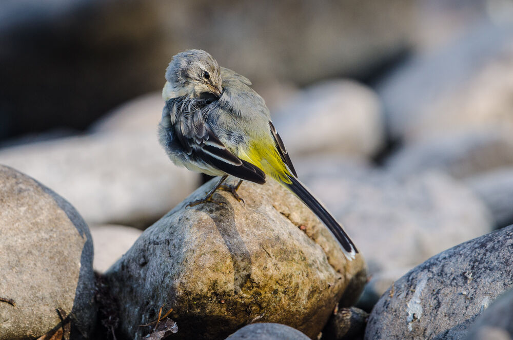 Young Grey Wagtail.