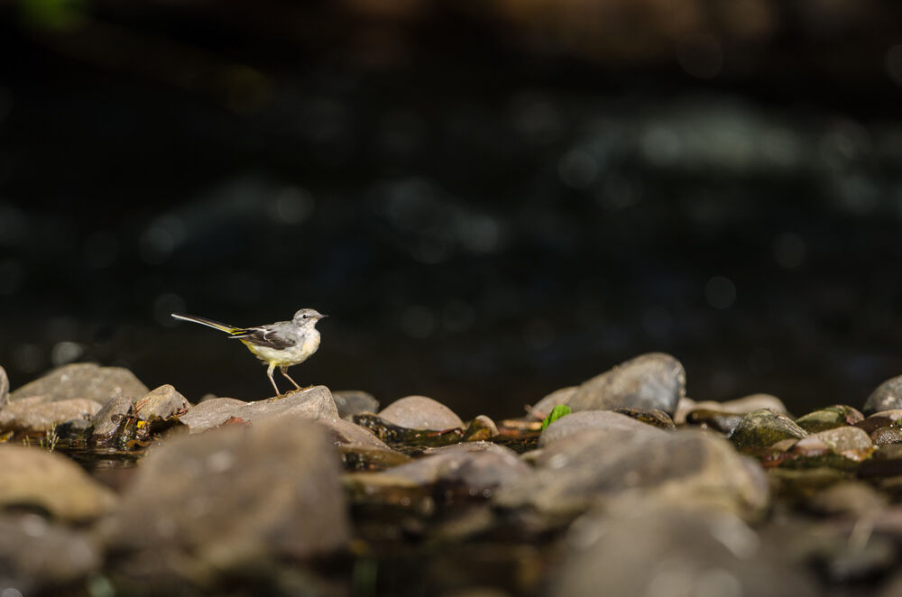 Grey Wagtails flit for food.