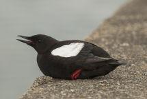 Black Guillemots in Oban Harbour