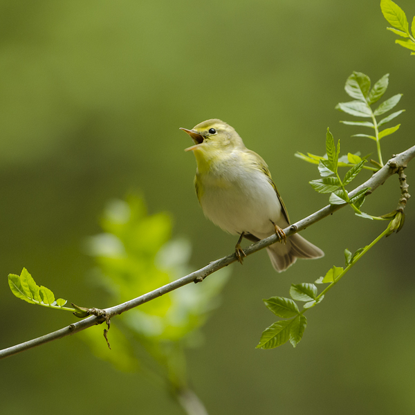 Wood Warbler Singing