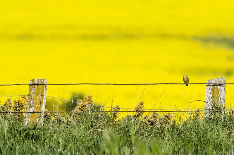 Yellowhammer and Rapeseed