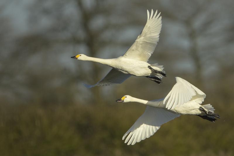 Bewicks in flight
