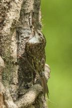 Tree Creeper.