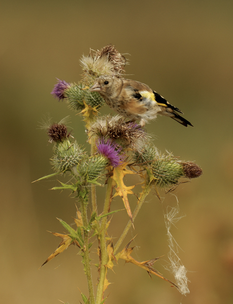 Juvenile Goldfinch feeding on thistle.
