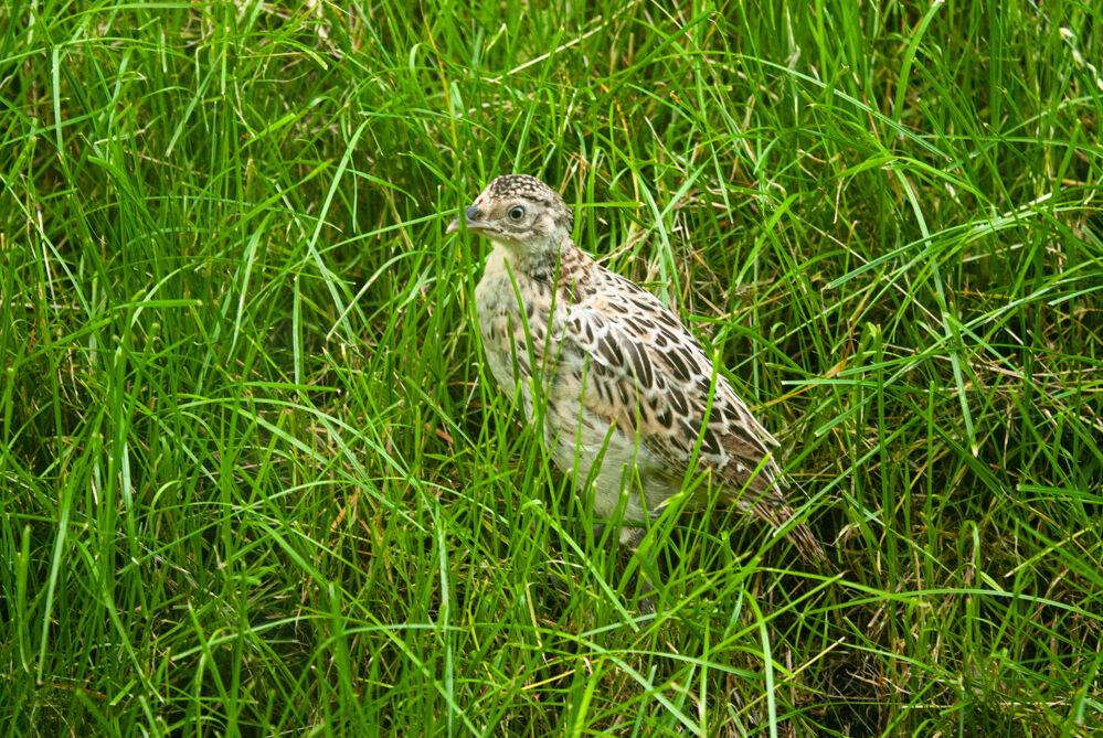 Pheasant chick.