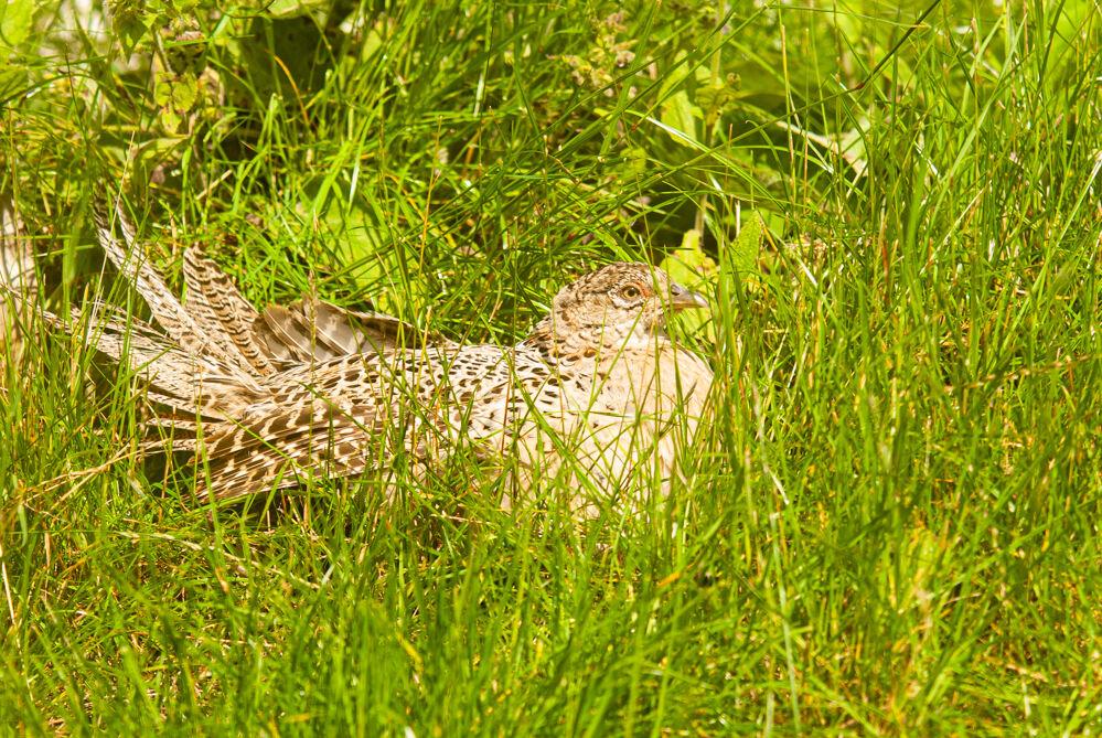 Female Pheasant.