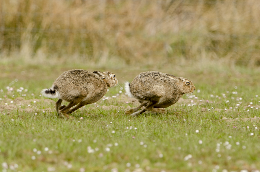 Hares Chasing