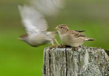 House Sparrows