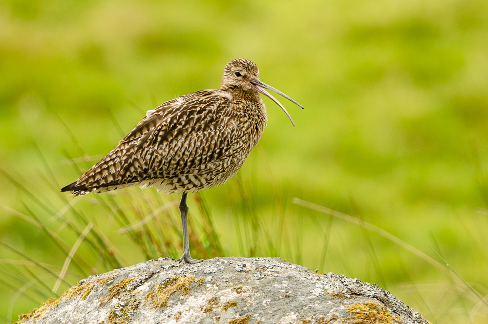 Curlew calling.