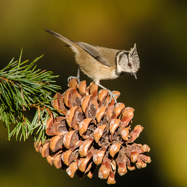 Crested Tit on cone.
