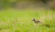 Young Curlew