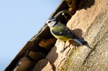 Blue Tit in Lockdown