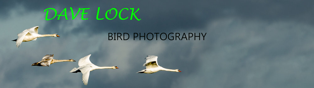 <em>DAVE LOCK      Bird Photography
