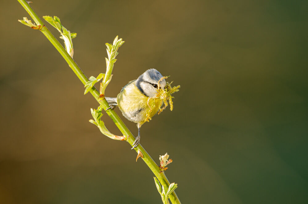 Blue Tit Nest Building.