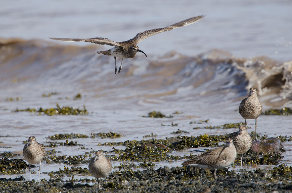 Great Day at Goldcliff : Whimbrel.