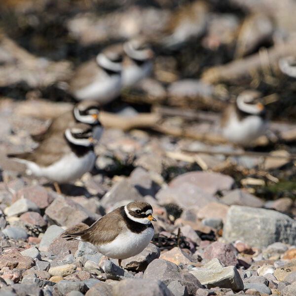 Ringed Plover at High Tide.