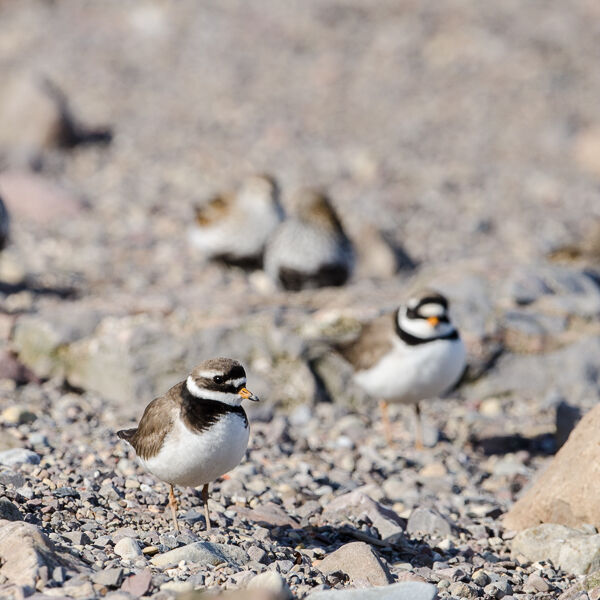 Ringed Plover on Migration.