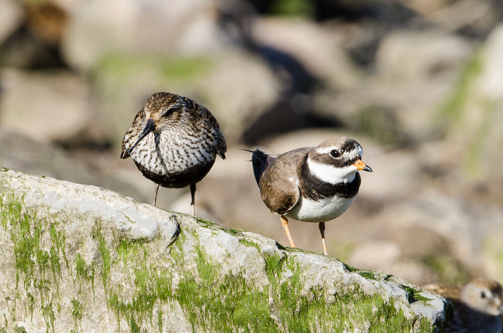 Dunlin and plover.